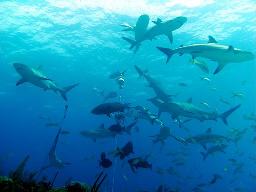 Carcharhinus perezi feeding