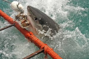 A White Shark biting fish heads used to draw the shark in, outside a cage in False Bay South Africa.