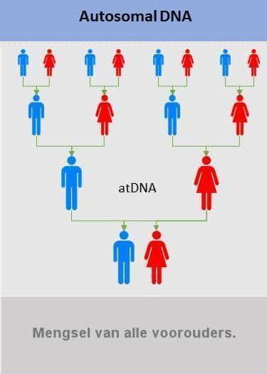 Autosomale DNA